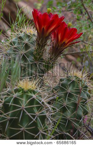 Mojave Mound Cactus - Echinocereus Triglochidiatus