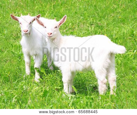 Two white baby goat against green grass