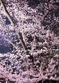 picture of night-blooming  - Cherry at night - JPG