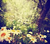 picture of weed  -  a bunch of pretty daisy like flowers done with a soft vintage instagram like effect filter  - JPG