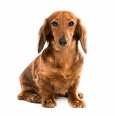 image of dachshund dog  - red dog breed dachshund on white background looking into the camera - JPG