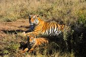 picture of tiger cub  - A tiger mother and her cub talking a rest in the bush - JPG