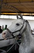 picture of lipizzaner  - Closeup of a head of the white Lipizzan horse in stabling - JPG