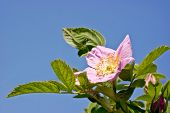 stock photo of wild-brier  - Branch of wild rose on a background blue sky - JPG