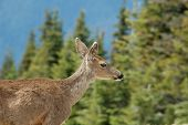 stock photo of blacktail  - blacktail tear - JPG