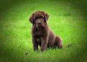 stock photo of chocolate lab  - Cute chocolate labrador retriver puppy - JPG