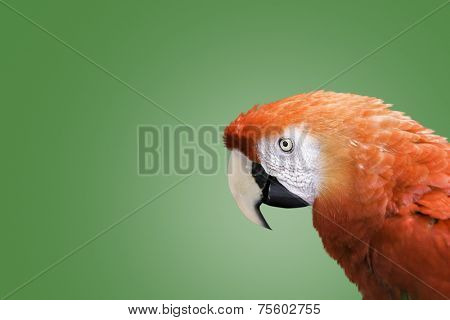 Red Macaw on green background