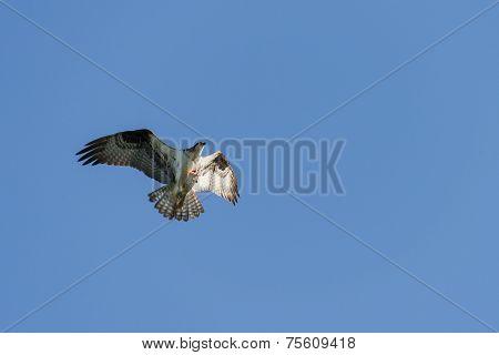 Osprey Grasping A Fish