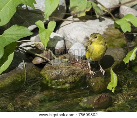 Yellow Finch On Creek Shoreline