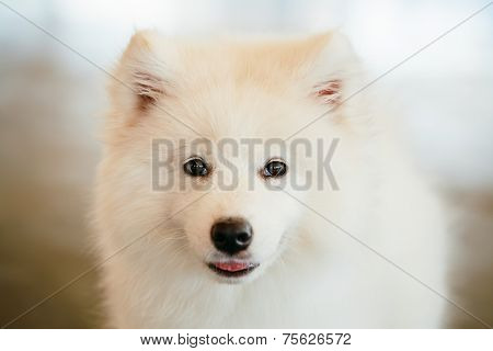 White Samoyed Dog Puppy Whelp Close Up