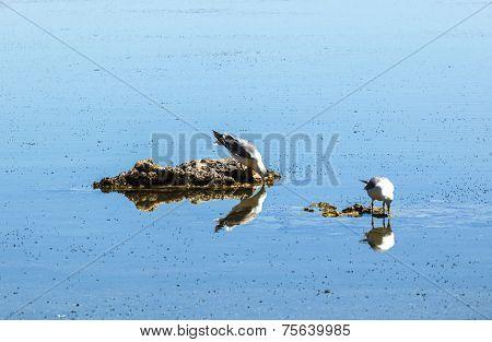 California Gull Flying Over The Beautiful Mono Lake