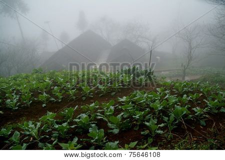 Cabbage field in Northern of Vietnam.