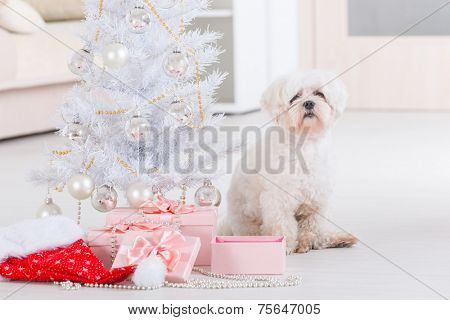 Cute little dog Maltese sitting with gifts near Christmas tree