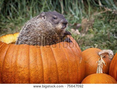 Groundhog in a pumpkin