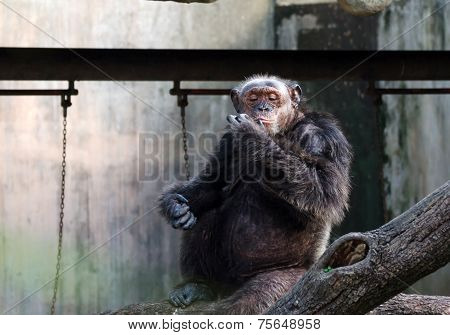Portrait Of Chimpanzee