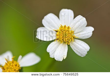 Plains Blackfoot Flower