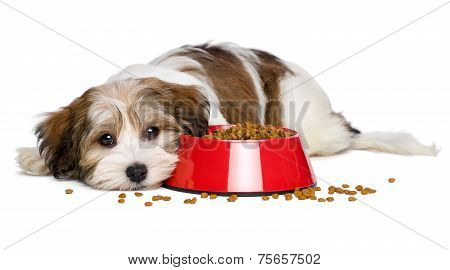 Cute Havanese Puppy Dog Is Lying Beside A Red Bowl Of Dog Food