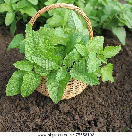Fresh mint in basket