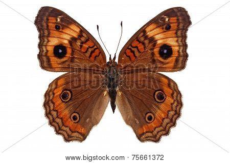 Junonia Genoveva Butterfly
