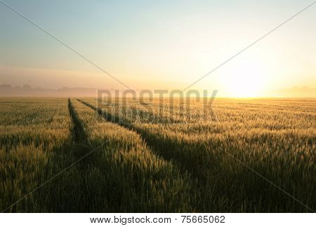 Sunrise over a field of grain
