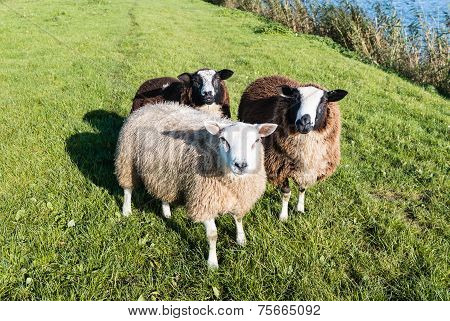 Curiously Looking Sheep Threesome