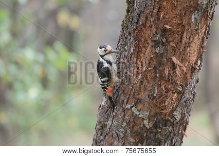 White-backed Woodpecker Female Looking For Insects