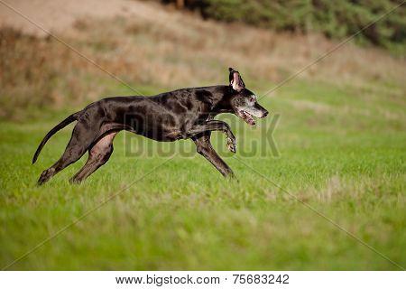 beautiful old great dane dog running