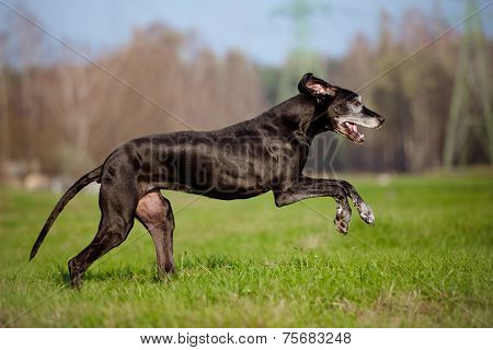 beautiful old great dane dog running