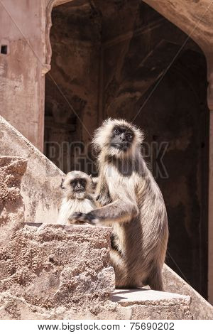 Mother And Baby Indian Gray Langurs Or Hanuman Langurs Monkey (semnopithecus Entellus)