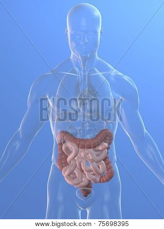 colon and intestine