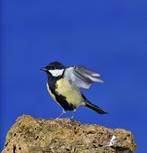 stock photo of great tit  - Great tit perched on a rock with a blue background - JPG