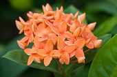 image of jungle flowers  - The Orange Ixora Flower  - JPG