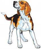 picture of foxhound  - beagle hound - JPG