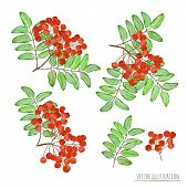 foto of rowan berry  - Set of rowan berries with leaves isolated on white background - JPG