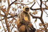 stock photo of hanuman  - Indian Gray langurs or Hanuman langurs Monkey (Semnopithecus entellus) sat in a tree ** Note: Soft Focus at 100%, best at smaller sizes - JPG