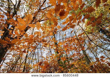 Oak forest temperate forest view from below at fall