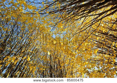 Wide angle view of lime tree from below wearing their golden yellow fall colors