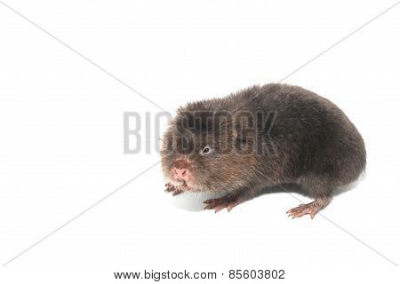 Mole in action