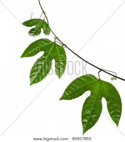 Green Leaves Passion Fruit close up macro shot isolated on white background