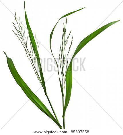 Fresh green herb grass with a whisk isolated on white background