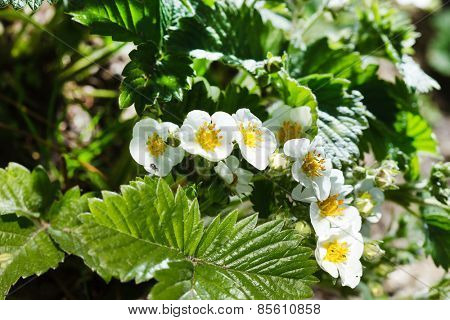 flowers of strawberry