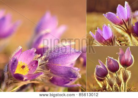 Spring background with meadow and blossoming flowers. Pasque Flowers - Pulsatilla grandis.