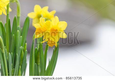 Easter Daffodil,