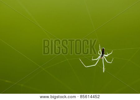 Spider on web on green background