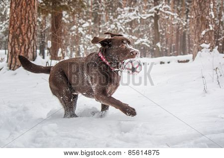 chocolate Labrador running on the background of a winter forest snow