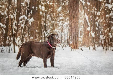 Chokolate Labrador on the background of a winter forest snow