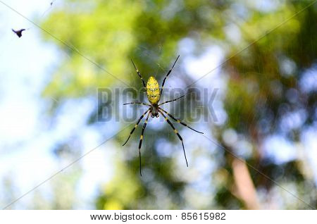 A Spider (Nephila Clavata) Waiting for His Prey