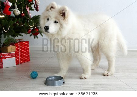 Samoyed dog with metal bowl and ball near Christmas tree in room on white wall background