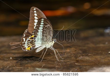 Banded Swallowtail Butterfly (papilio Demolion)