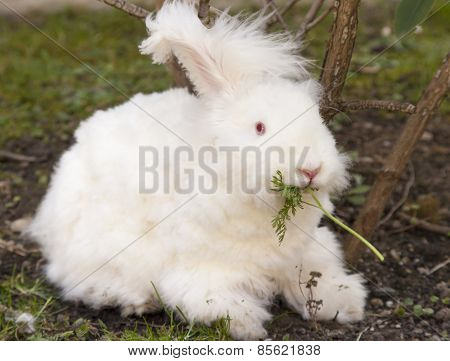 Fluffy angora rabbit eating herbs on grass
